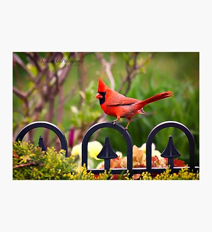 Male Red Cardinal in the Garden Photographic Print