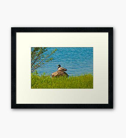 A Rock Duck Framed Print