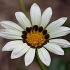 Daisy by cathywillett