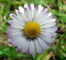 Daisy, Daisy by Chris Pilcher