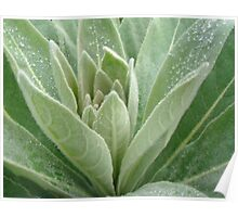 Great or Common Mullein - Verbascum thapsus Poster