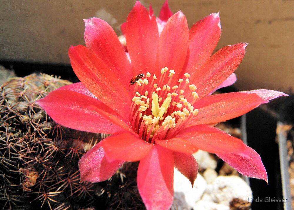 Rebutia pygmaea var. colorea with little Beetle. by Linda Gleisser