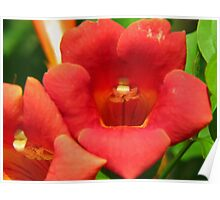 Trumpet Creeper Up Close and Personal Poster