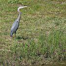 Great Blue Heron ~ Best Viewed Large by barnsis