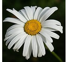 Just a Daisy Photographic Print