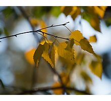 Dreamy Yellow Leaves Swaying in the Wind  Photographic Print