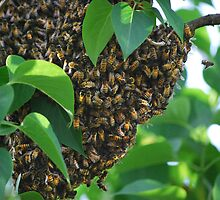 Honey Bee Swarm by Laurie Minor