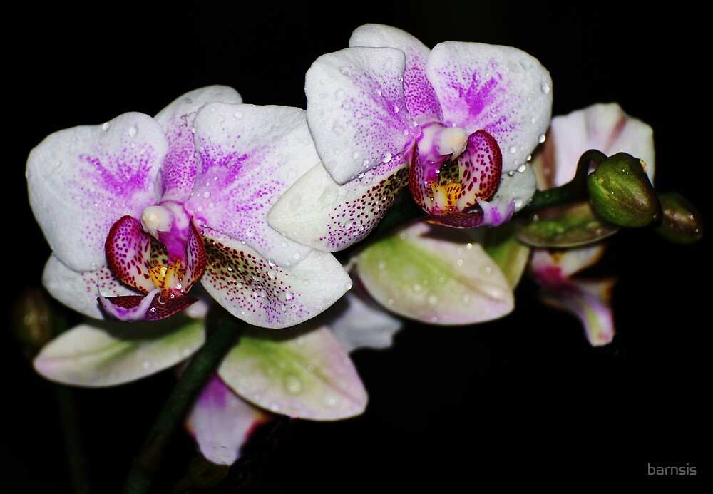 Orchid by barnsis
