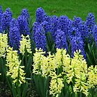 Hyacinths Yellow and Blue - Keukenhof Gardens by kathrynsgallery