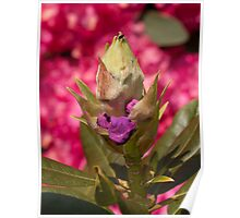 Rhododendron, start of life and in bloom Poster