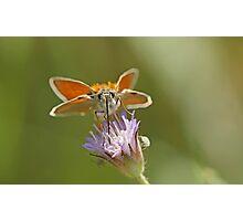 Skipper Species Photographic Print
