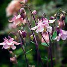 Pink Aquilegia flowers by Vicki Field