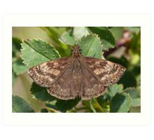 Dingy Skipper Art Print