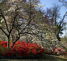 Azaleas And Dogwood by Carolyn  Fletcher