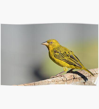 Yellow........... Poster