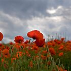 Poppy Field by FranWalding