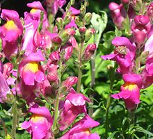 Who doesn't like snapdragons by Maria1606
