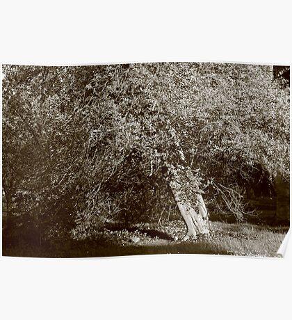 Holly Tree - Sepia Poster