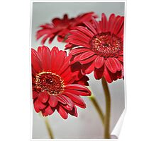 Three red Gerberas Poster