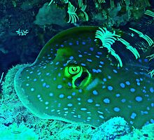 BLUE SPOTTED STINGRAY by NICK COBURN PHILLIPS