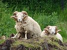 some sheep are more equal than others by shireengol