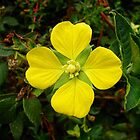 Primrose-willow - Ludwigia octovalvis by Digitalbcon