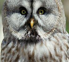Great Grey Owl or Lapland Owl  by DutchLumix