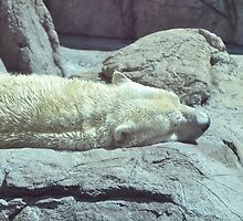 Polar Bear Napping by mltrue