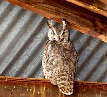 Grey, Horned Owl - Whitewater Draw, Arizona by Kimberly Miller