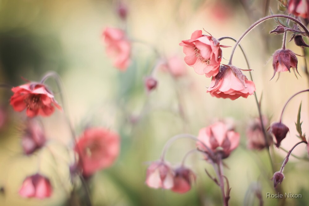 Sweet Geum by Rosie Nixon