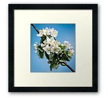 Apple Blossom 3 Framed Print