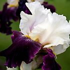 Iris In Bloom #2 by thomr