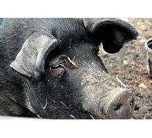 Big. Pig. Photographic Print