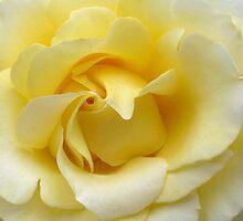 Yellow Rose by shalisa