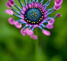 African Daisy in bloom by alan shapiro
