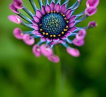 African Daisy in bloom by alan shapiro