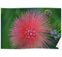 Red PomPom Bottle Brush Poster