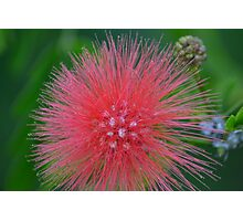 Red PomPom Bottle Brush Photographic Print