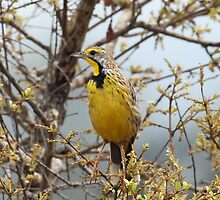 Yellow throated longclaw by jozi1