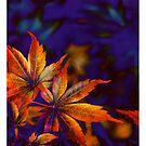 Fiery Maple by Jeff Johannsen