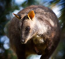 Rock Wallaby by diggle