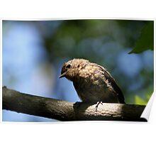 Juvenile Robin (2) Poster
