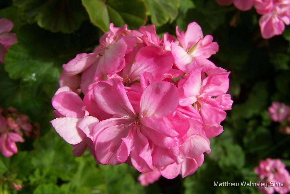 Pink Geranium by Matthew Walmsley-Sims