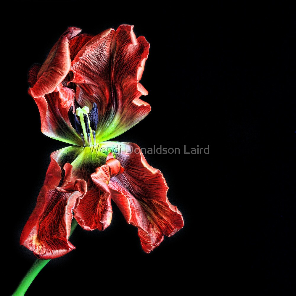 Pansy Tulip by Wendi Donaldson Laird