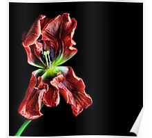 Pansy Tulip Poster