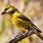 crossbill by kevin  caldwell