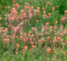 Indian Paintbrush by Carolyn  Fletcher