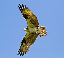 Sunny Side Up - Osprey In Flight by John Absher