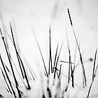 Grasses in the Snow, Southern Upland Way, Scottish Borders by Iain MacLean