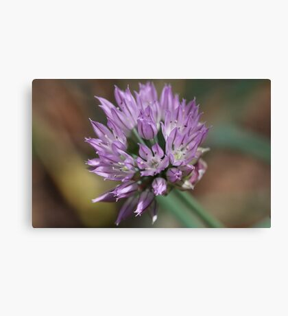 Chive flowering  Canvas Print